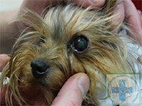 нейрогенный кератит у собаки диагностика и лечение
