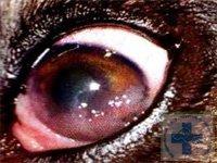 герпетический кератит у собаки диагностика и лечение