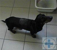лечение патологий позвоночника у собак и кошек