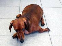 Односторонняя параплигия у собаки