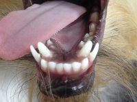 проблемы молочных зубов у собак