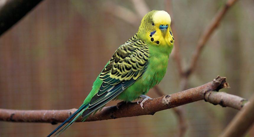 Опухоль у волнистого попугая