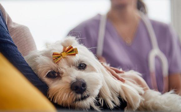 Эхинококкоз (ленточный червь) у собак