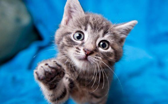 Рестриктивная кардиомиопатия у кошек