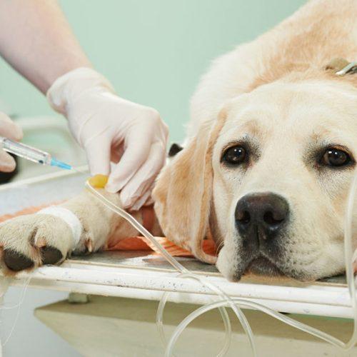 Портосистемные шунты у собак
