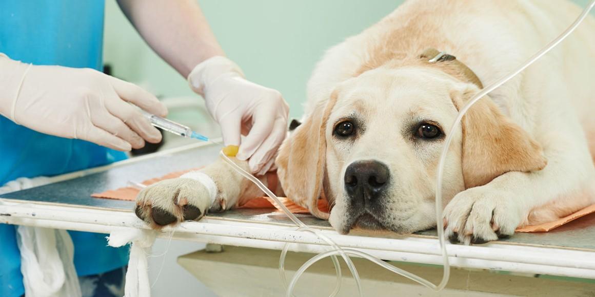 Печночный шунт у собак
