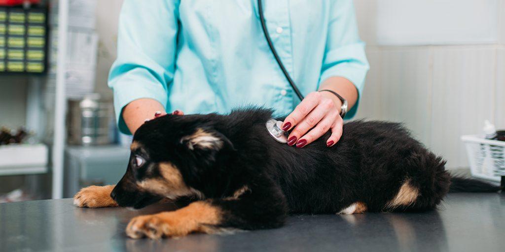 дисплазия тазобедренных суставов у собак