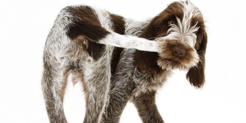 Хирургическое лечение залома хвоста у собак