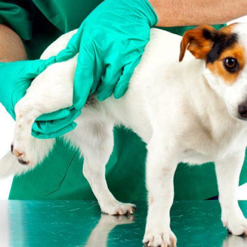 Тройная остеотомия таза в лечении дисплазии у собак