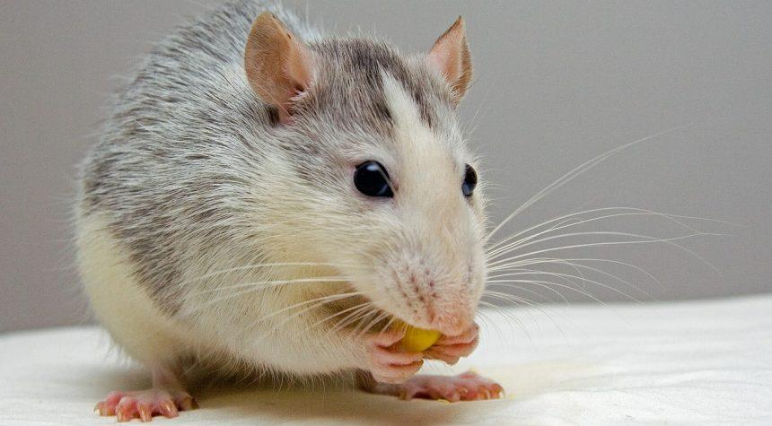 Опухоли у декоративных крыс