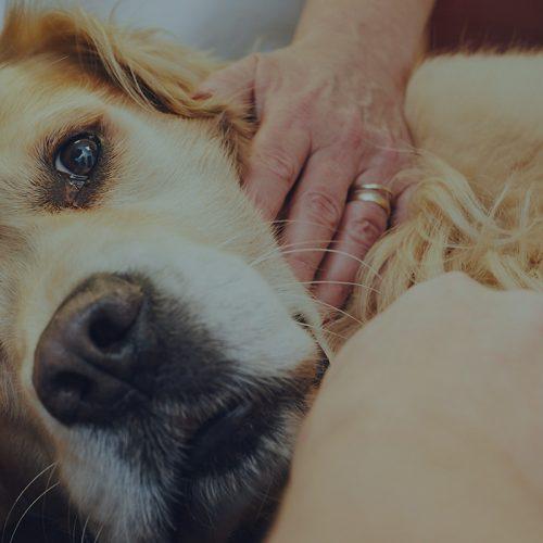 Стеноз устья аорты у собаки (баллонная ангиопластика)