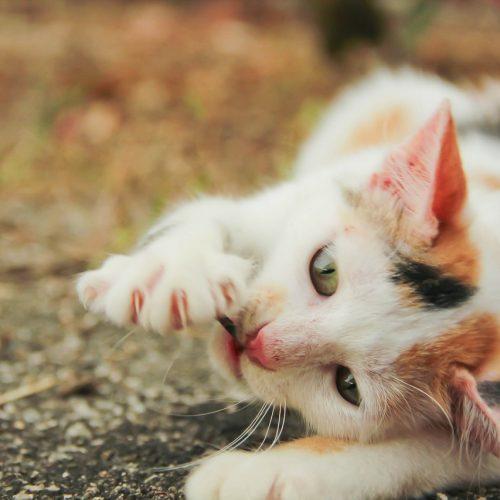 Идиопатический перикардиальный выпот у кошки