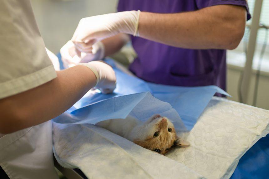Стеноз лёгочной артерии у кота