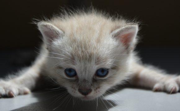 Стриктура пищевода у котёнка. Баллонная эзофагопластика.
