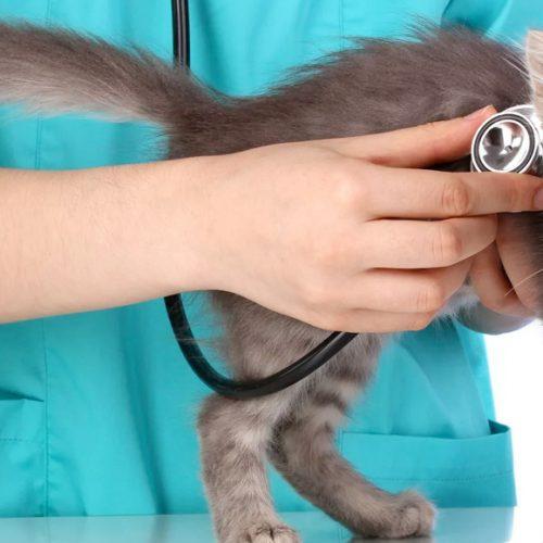 Разрыв диафрагмы у котёнка