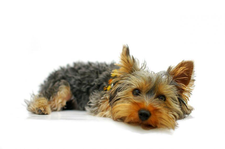 Протезирование части конечности у собаки