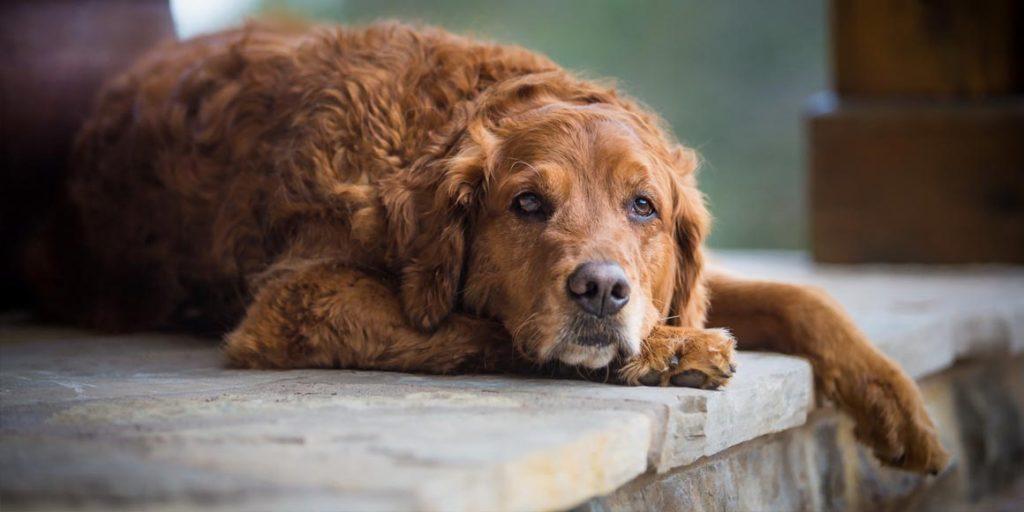 Атланто-аксиальная нестабильность у собак