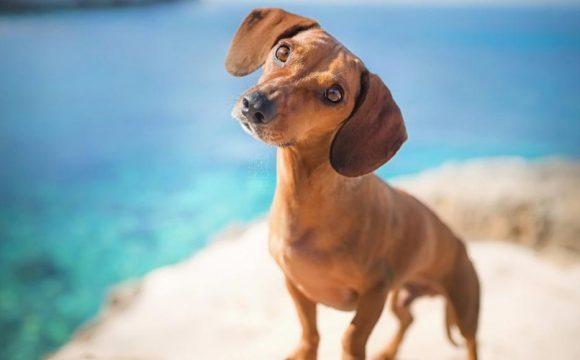 Открытый артериальный проток у собак