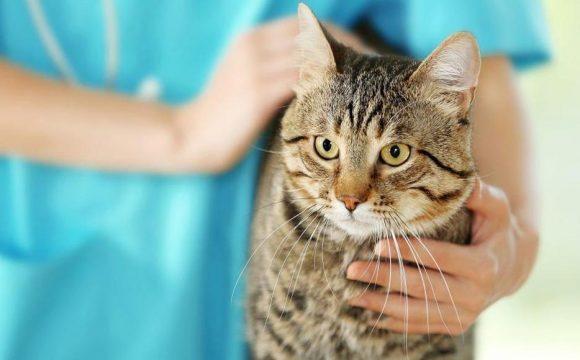 Опухоли верхней и нижней челюсти у кошек